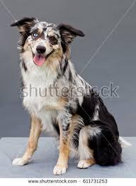 australian shepherd grey australian sheepdog stock images royalty free images u0026 vectors