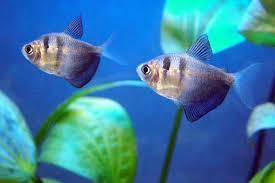 using salt for freshwater aquarium fish petcha