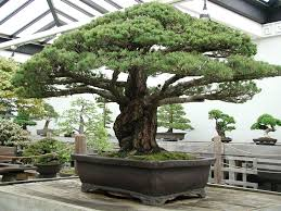 this 388 year bonsai tree survived the hiroshima