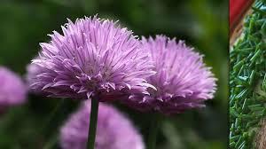 les herbes de cuisine les incontournables plantes aromatiques dossier