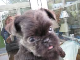 affenpinscher skin problems affenpinscher x griffon bruxellois puppies exeter devon