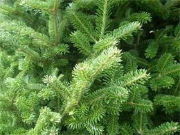 varieties of fir and spruce choose and cut your pennsylvania
