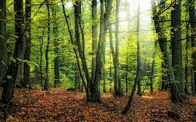 wallpaper autumn foliage forest tree wilderness desktop