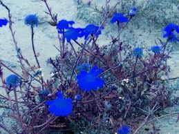 imagenes con flores azules dia de la maestra azul mar haikú flor azul