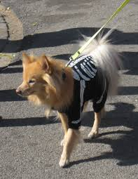 halloween dog skeleton laura goggin photography halloween dog parade