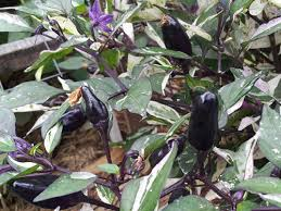 mexican calico chilli a fantastic edible ornamental