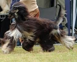 afghan hound agility top 10 fastest dog breeds in the world u2013 top10hq