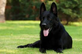 belgian malinois jet black beginning of the end dog survival rp members