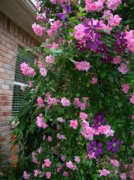 climbing pinkie u0027 rose climbing polyantha suitable to the