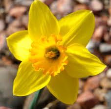 daffodil for march sugar skull tattoo pinterest daffodils