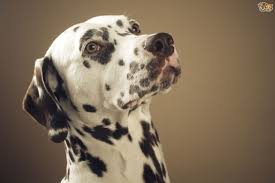 dalmatian deafness colour genetics pets4homes