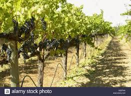 vineyard drip irrigation stock photos u0026 vineyard drip irrigation