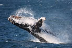 whale eco cruise jervis bay wild whale watching