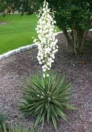 Yucca Wohnzimmer Nachtduftende Pflanzen Traumhafter Blütenstand Für Die Yucca
