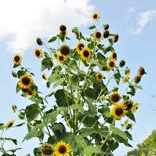 sunflowers for sale heirloom sunflower seeds on sale now by the packet or in bulk