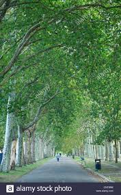 avenue of trees in park east uk summer leaves