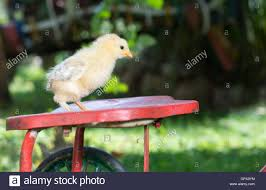 small chicken standing on toy bicycle seat stock photo royalty