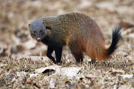 the cruel business of mongoose hair paintbrushes