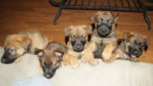 belgian shepherd x rottweiler camelot german shepherds camelot german shepherds german