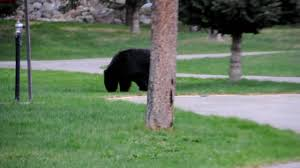 black bear at beckers chalets youtube