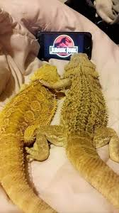 Lizard Meme - 9 lizards show off they are the coolest creatures on this planet