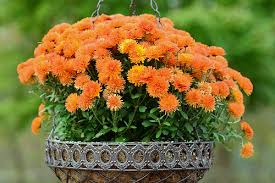 Picture Of Mums The Flowers - what to plant in your fall flower gardens