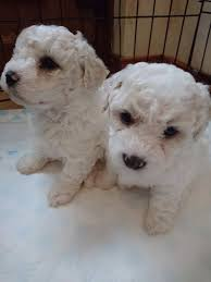bichon frise 4 months old beautiful bichon frise puppies for sale in downpatrick county