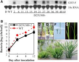 directly transplanting of native monocots from donor areas to activation of the indole 3 acetic acid u2013amido synthetase gh3 8