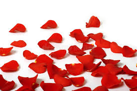 Rose Petals Rose Petals Stock Image Image Of Romance Isolated White 1288981