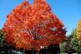 https gardenshedandpantry files wordpress com 2013 06 maple tree