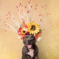 american pitbull terrier in bangalore flower power u2014 sophie gamand