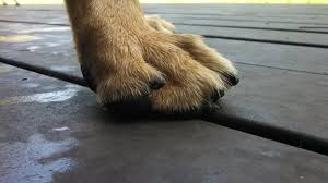 german shepherd watch dogs nails how long is too long for your