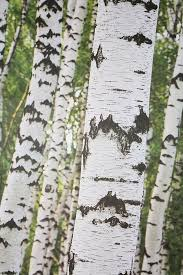 Wall Mural White Birch Trees 101 Best Bereza Images On Pinterest Aspen Trees Birches And