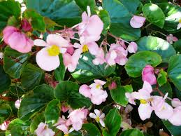 begonia u2013 ornamental plant of the week for april 14 2014