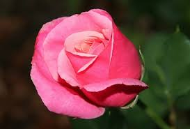 canada flowers hot flower deal one pink delivered on s day you