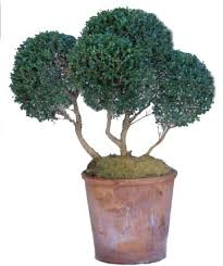 Real Topiary Trees For Sale - clip into shape