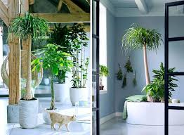 Indoor Trees For The Home by Calm Your Mind With Indoor Plants Dear Velvet