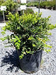 buxus calgary boxwood u2013 calgary plants online garden centre