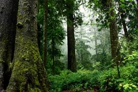 Oregon Forest images Late successional mixed conifer forests oregon conservation strategy jpg