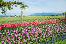 Skagit Valley Tulip Festival Bloom Map The Skagit Valley Tulip Festival Drive The Nation