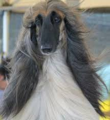 afghan hound hairstyles afghan hound this looks like someone i know adorable dogs