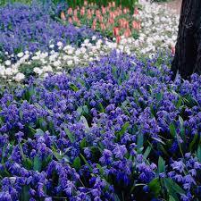 bulb garden layout a wave of blue bulbs for the spring garden ljn blog posts