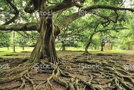 majestic tree in royal botanical gardens paradeniya kandy sri