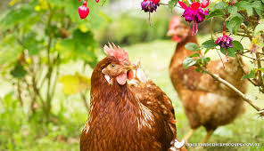 Chickens For Backyard The Top 8 Best Laying Hens For Backyard Chickens