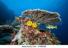 table fish coral underwater diving sea christmas island australia