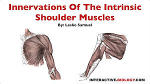 Innervation Of Infraspinatus 096 Innervations Of The Intrinsic Shoulder Muscles Youtube