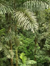 native plants in the amazon rainforest socratea exorrhiza wikipedia