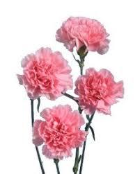 carnation flowers carnation flower information carnation cut flower flower shop