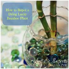 94 best plants images on lucky bamboo care lucky