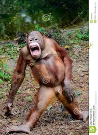 Funny Smile Meme - funny smile orangutan monkey posing stock photo image of